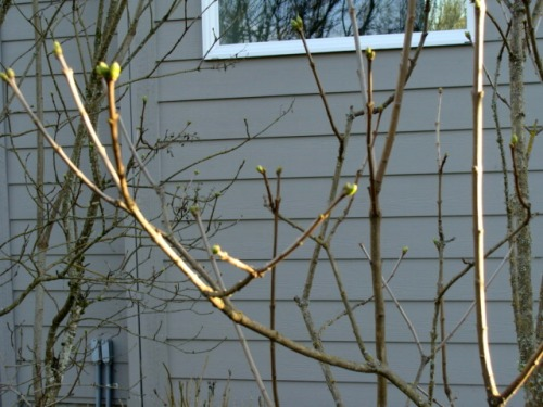 Lilac tree leaf buds